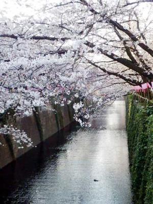Nakamesakura